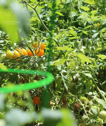 tomatoes_yellow_yard_2015d