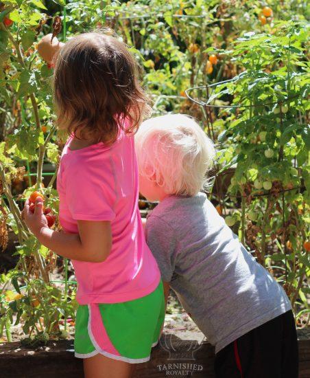 tomato_picking_2015