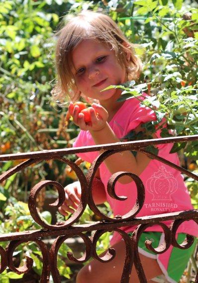 tomato_picking_2015_4