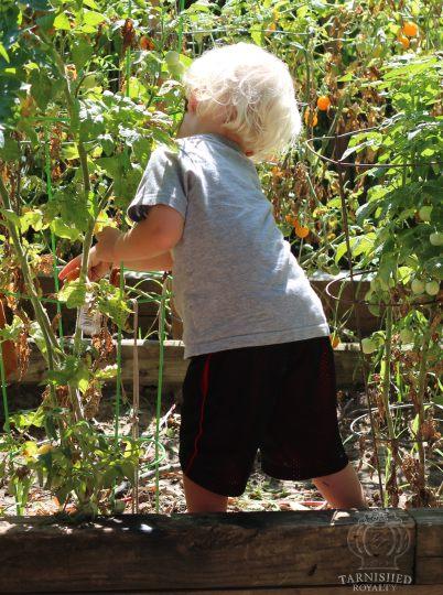 tomato_picking_2015_5